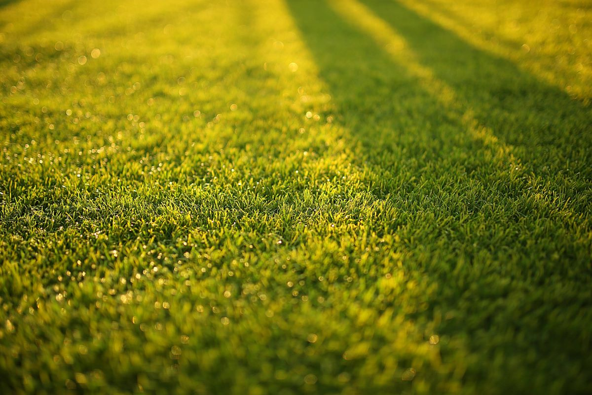 grass in the yard